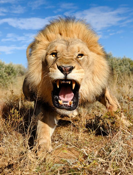 The-angry-Lion-by-Marsel-van-Oosten